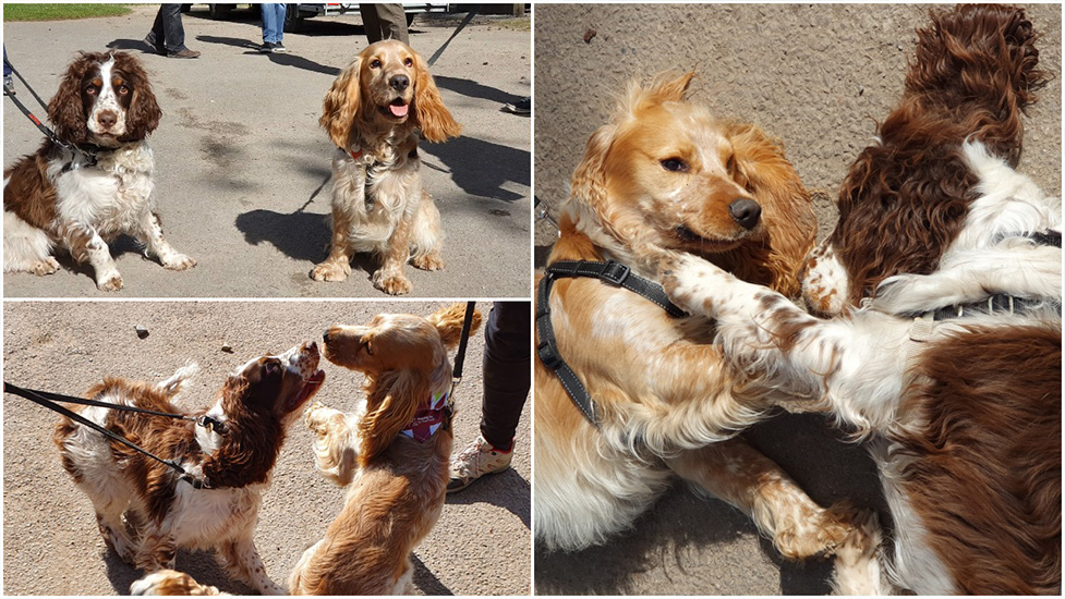 Hearing dog puppies in training: May update